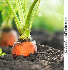 groeiende, organisch, carrots., wortel, closeup