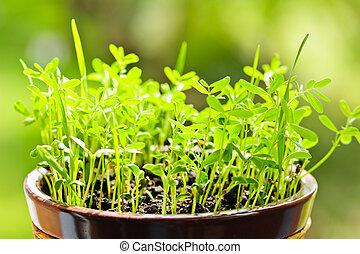 groeiende, pot, seedlings