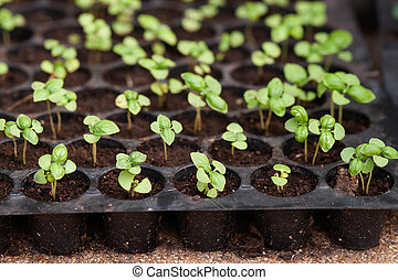 groeiende, potted, pots., seedlings