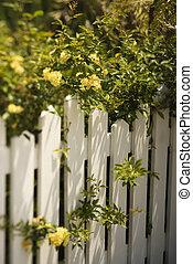 groeiende, rozen, op, fence.