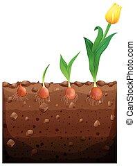 groeiende, tulp, bloem, ondergronds