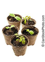 groeiende, turf, potten, mos, seedlings