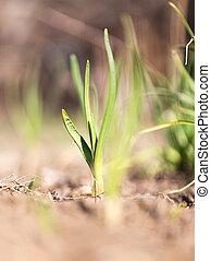 groeiende, uien, groene, tuin