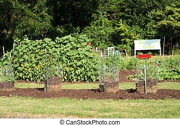 groeiende, zonnebloemen, tuin, gemeenschap, tomaten
