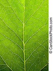groen blad, achtergrond, natuur