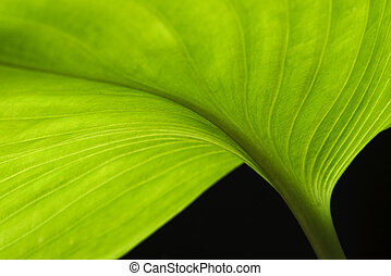groen blad, macrophotography