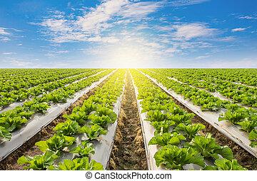 groen lettuce, op, akker, agricuture, met, blauwe hemel