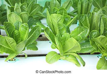 groen lettuce, slaatje, in, hydroponic, boerderij