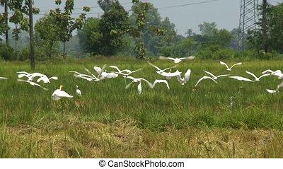 groen, witte , het genieten van, vogels, velen