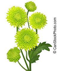 groene, chrysant