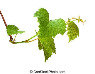 groene druif, kiem