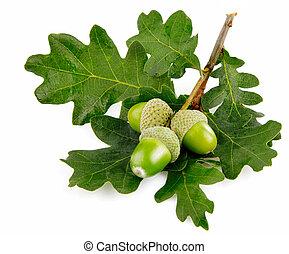 groene, eikeltjes, vruchten, met, bladeren