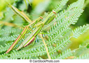 groene, het bidden mantis, /, mantis religiosa, zijn,...
