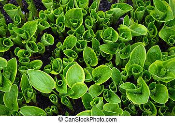 groene, hosta, spruiten, in, tuin
