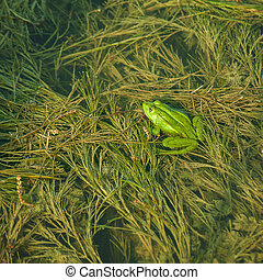 groene kikker, in, de, pond;, abstract, natuurlijke , achtergrond