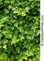 groene, klimop, achtergrond
