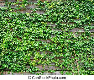 groene, klimop, op, hout, achtergrond