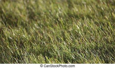 groene, oor, van, gras, slingeren, in de wind, in, de, zonnig, akker