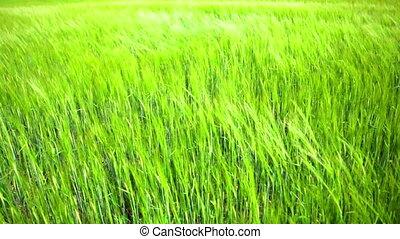 groene, oor, van, tarwe, in, de, akker, golf, op, een, wind