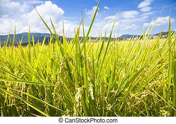 groene rijst, akker, met, hemel, en, wolk, achtergrond