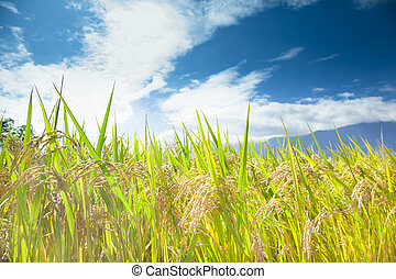 groene rijst, akker, met, wolk, achtergrond