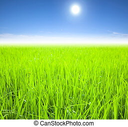 groene rijst, akker, op, de, zomer, morgen