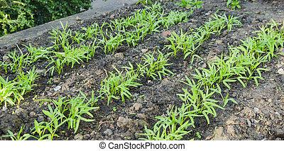 groente, morgen, tuin, glorie, kiemplant