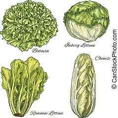 groente, sla, schets, isoletad, kool