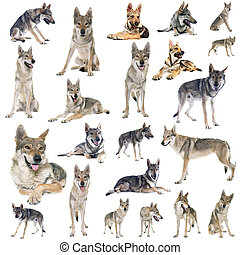 groep, van, czechoslovakian, wolf, dog