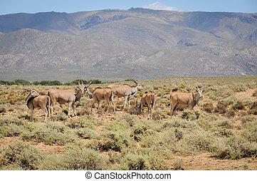 groep, van, elands, de, grootste, antilope, in, afrika