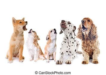 groep, van, honden, huilend