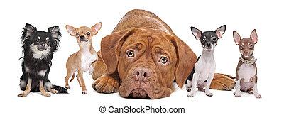 groep, van, honden
