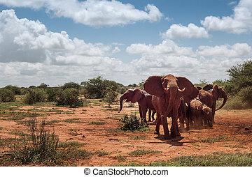 groep, van, olifanten, in, de, savanne