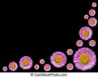 groep, van, paarse , engelse , madeliefjes, bloemen, vrijstaand