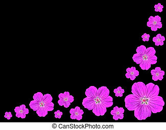 groep, van, purpere bloemen, vrijstaand, op, zwarte achtergrond