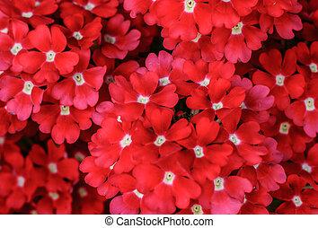 groep, van, rode bloemen, achtergrond