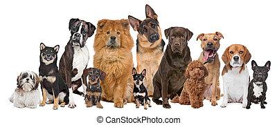 groep, van, twaalf, honden