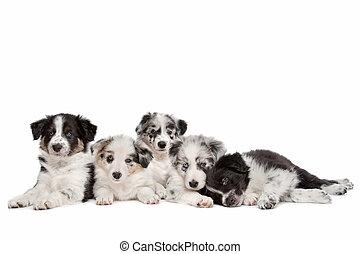 groep, van, vijf, collie van de grens, hondjes