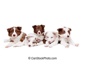 groep, van, vijf, collie van de grens, puppy, honden