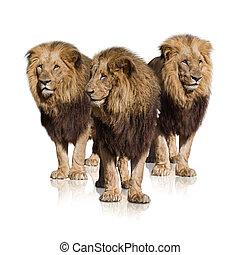groep, van, wild, leeuwen
