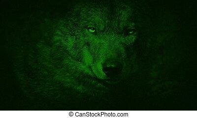 grogner, vue, loup, vision, nuit