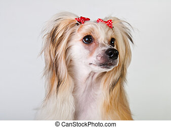 Groomed Chinese Crested Dog sitting - Powderpuff, 10 month old.
