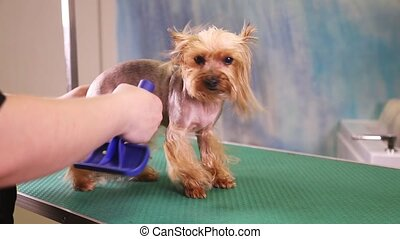 Groomer comb Yorkshire Terrier dog