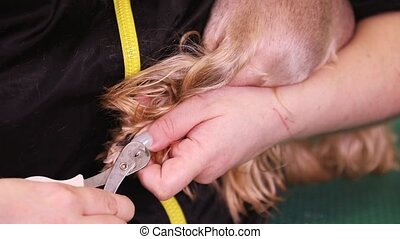 Groomer cut the nails of the dog
