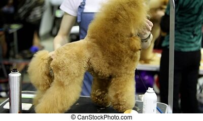 Groomer hold dog of poodle breed and cuts its hair at...