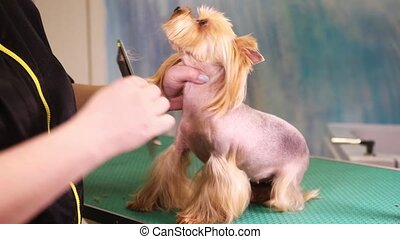 Groomer makes a hairstyle of Yorkshire Terrier dog