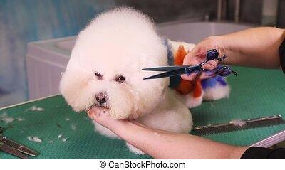 Groomer makes a stylish haircut of thoroughbred Bichon Frise...