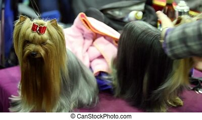 Groomer makes hairdo of yorkshire terrier breed and other one stand near on leash