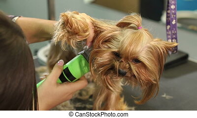 Groomer trimming a yorkshire terrier with a hair clipper in a vet clinic.