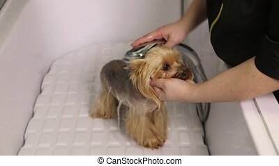 Groomer washing Yorkshire terrier dog in pet salon